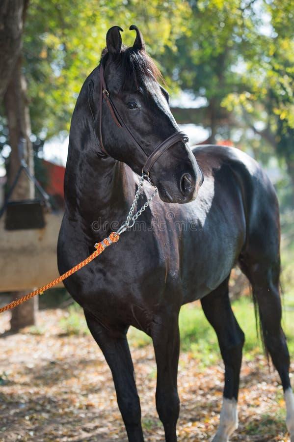 Retrato do belo garanhão negro da raça Marwari, posando no jardim índio tradicional fotos de stock royalty free