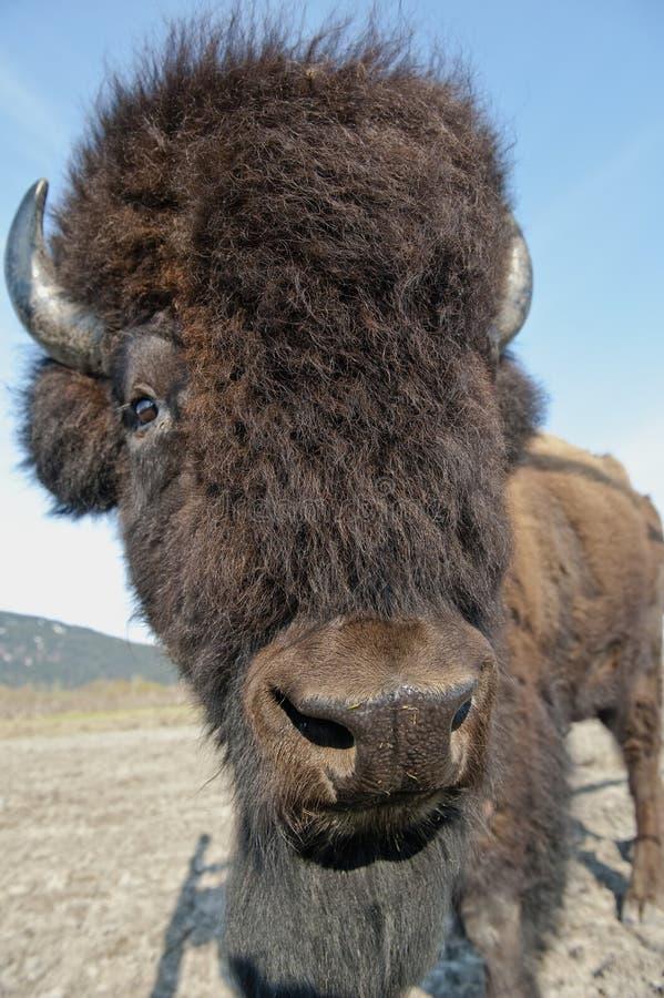 Retrato do bisonte de madeira foto de stock