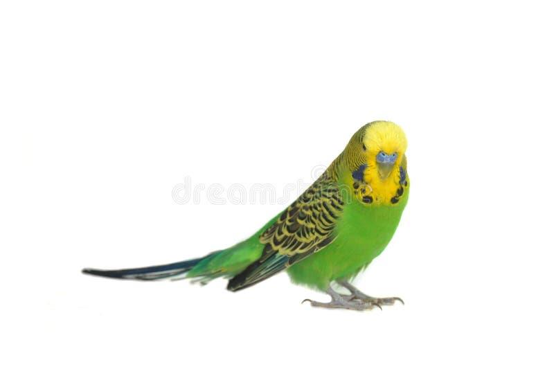 Retrato do budgerigar imagem de stock
