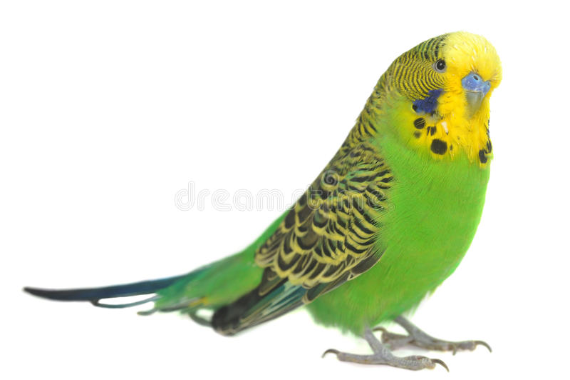 Retrato do budgerigar foto de stock royalty free