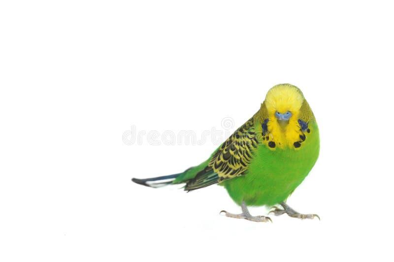 Retrato do budgerigar imagem de stock royalty free