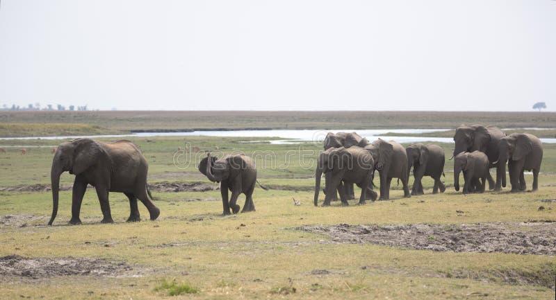 Retrato do bullherd livre selvagem do elefante imagens de stock royalty free