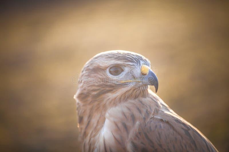 Retrato do Buzzard Long-legged fotografia de stock