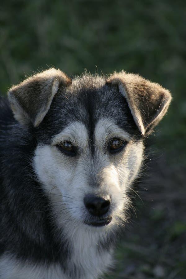 Retrato do cão fotografia de stock royalty free