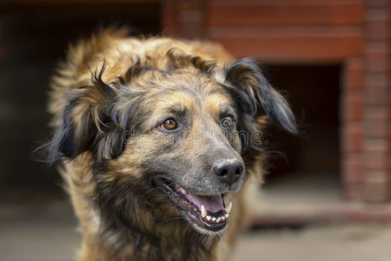 Retrato do cão adulto bonito sério ao lado de sua casa de madeira para cães imagens de stock