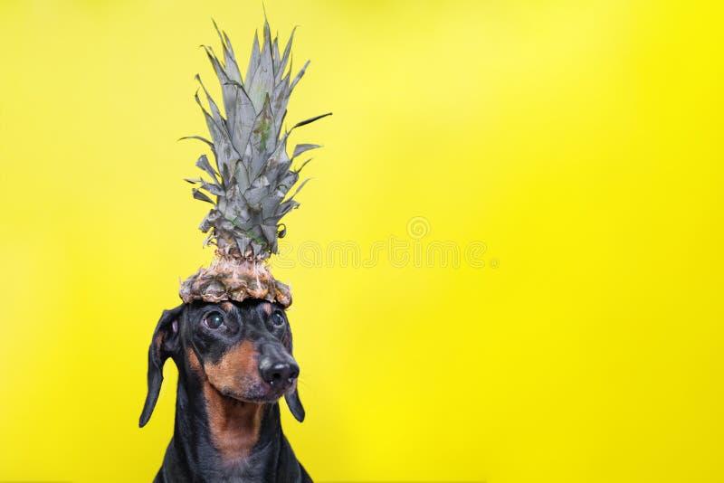 Retrato do cão bonito do bassê, preto e bronzeado, guardando o abacaxi na cabeça no fundo amarelo brilhante estilo da praia Forma foto de stock