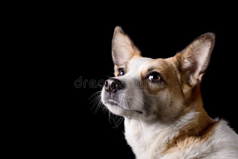 Retrato do cão bonito no estúdio imagens de stock royalty free