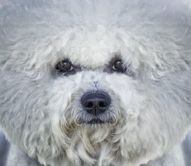 Retrato do cão branco do frise de Bishon fotos de stock
