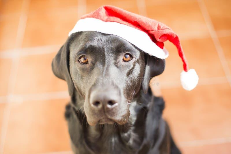 Retrato do cão com um chapéu de Santa Vista frontal de um Labrador preto imagens de stock royalty free