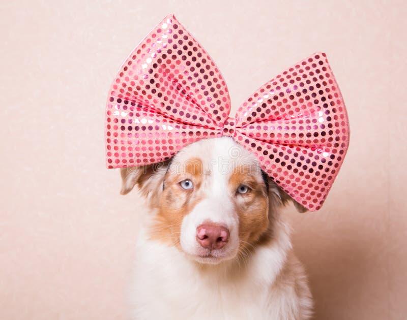 Download Retrato Do Cão Com Uma Curva Cor-de-rosa Enorme Em Sua Cabeça Foto de Stock - Imagem de novo, shepherd: 65576676