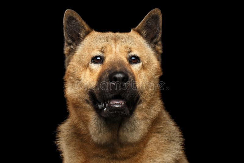 Retrato do cão da raça Akita Inu da mistura e da comida de comida fotos de stock