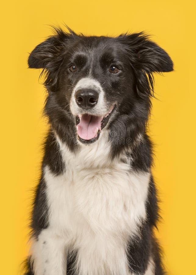 Retrato do cão de border collie em um fundo amarelo em um vertical imagens de stock