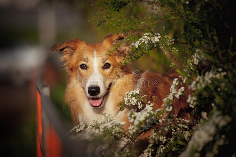 Retrato do cão de border collie na mola imagem de stock