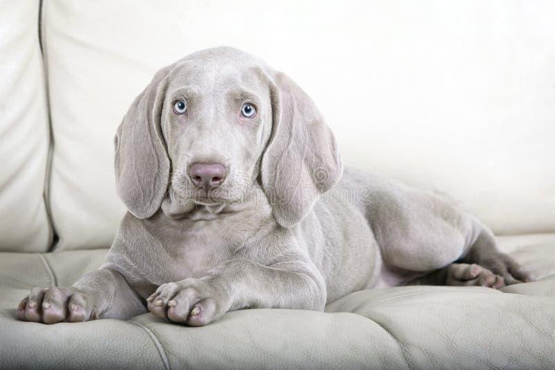 Retrato do cão de cachorrinho de Weimaraner imagem de stock royalty free