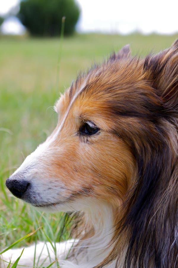 Retrato do cão de carneiros de Shetland imagem de stock royalty free