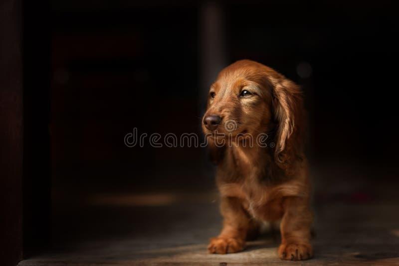 Retrato do cão de Dashund fotos de stock