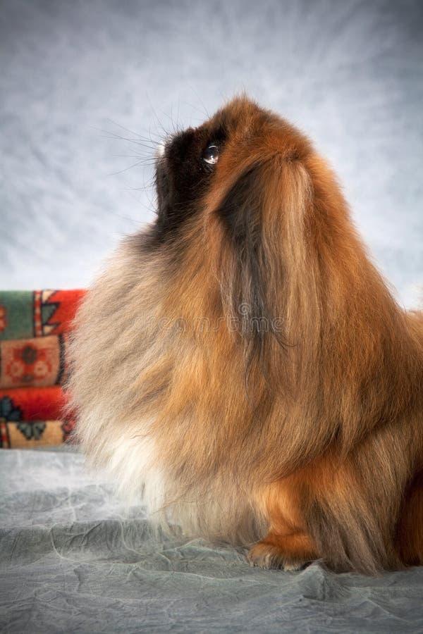 Retrato do cão de Pekingese fotografia de stock royalty free