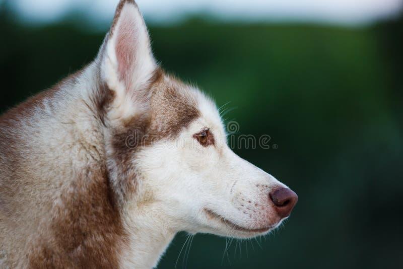 Retrato do cão de puxar trenós imagem de stock