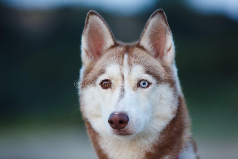 Retrato do cão de puxar trenós imagens de stock