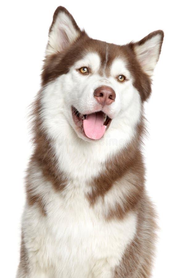 Retrato do cão de puxar trenós Siberian, isolado imagens de stock