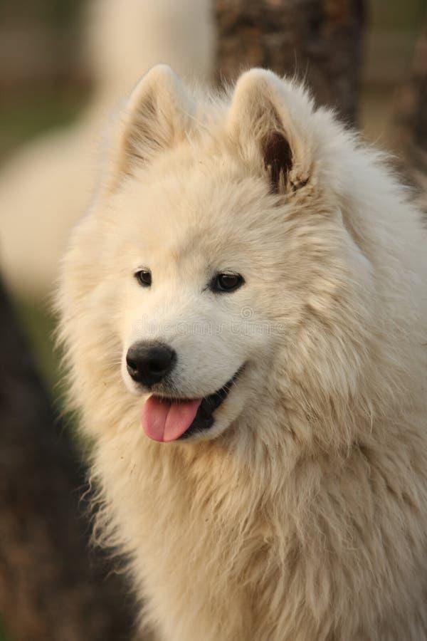 Retrato do cão de Samojed imagens de stock royalty free