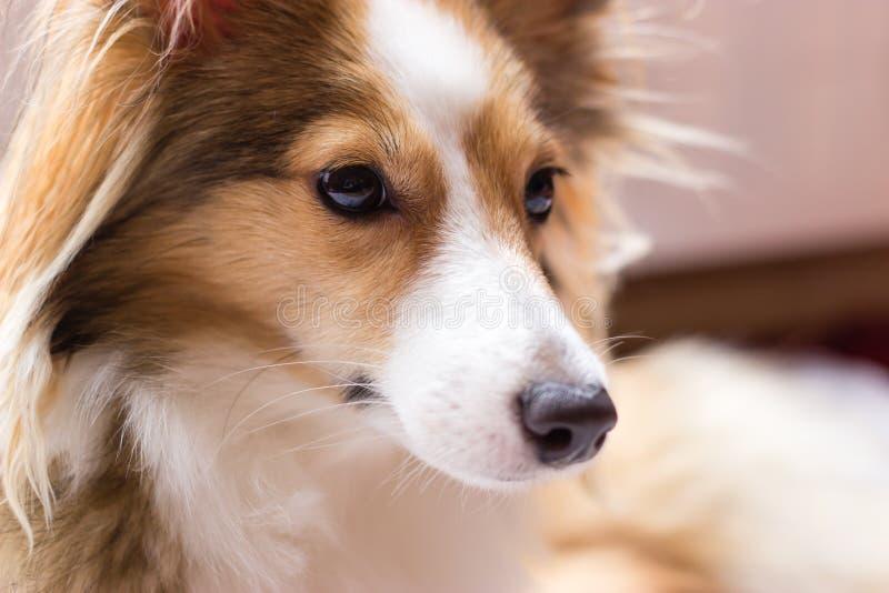 Retrato do cão de um sheltie imagens de stock