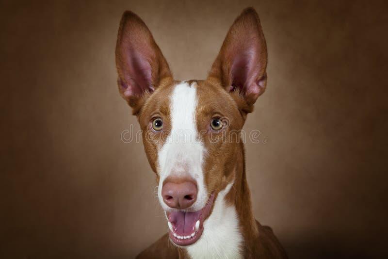 Retrato do cão do ibicenco de Podenco do puro-sangue fotos de stock