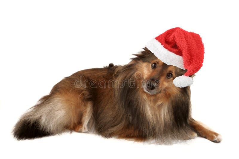 Retrato do cão do Natal foto de stock