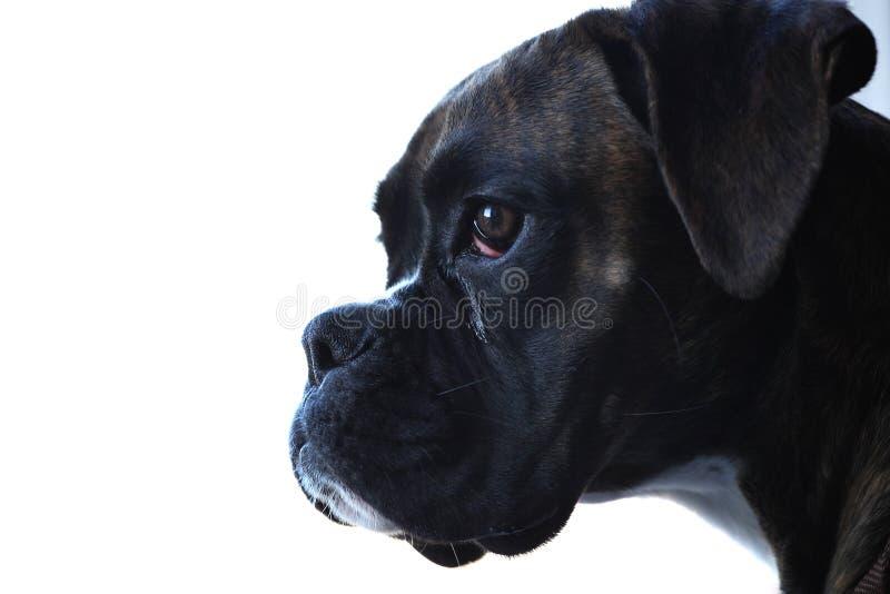 Retrato do cão do pugilista fotos de stock