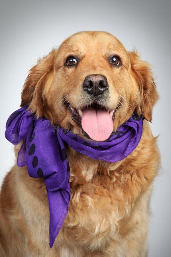 Retrato do cão do Retriever dourado imagem de stock
