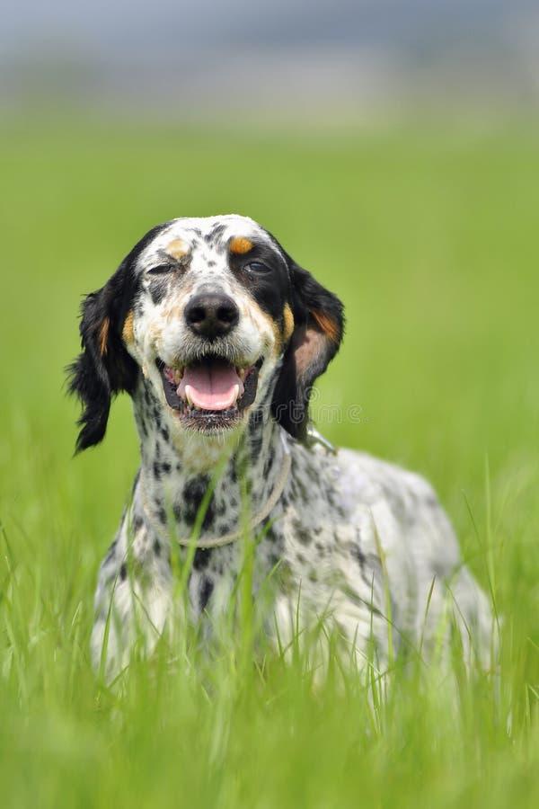 Retrato do cão do setter inglês fotografia de stock
