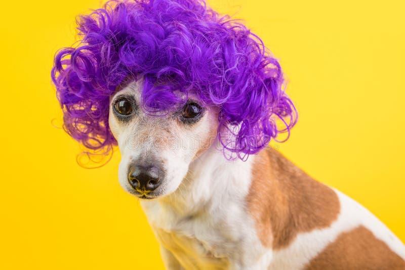 Retrato do cão engraçado na peruca encaracolado violeta Olhar triste Fundo amarelo foto de stock royalty free