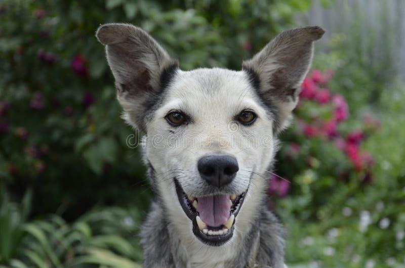Retrato do cão feliz do sorriso do close up Fundo colorido da folha imagem de stock