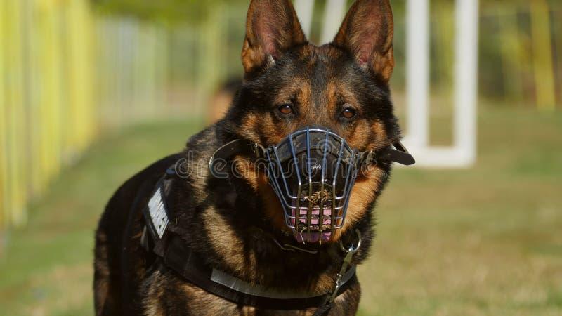 Retrato do cão do Gendarmerie imagem de stock