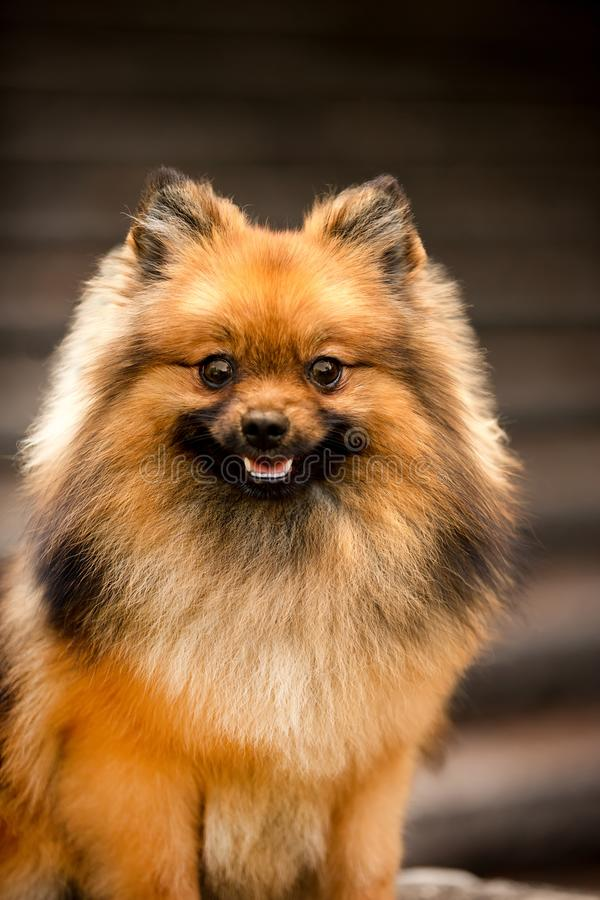 retrato do cão macio do Spitz de Pomeranian fundo marrom das escadas fotos de stock