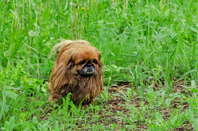Retrato do cão pekingese bonito na grama fotos de stock royalty free