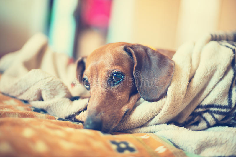 Retrato do cão pequeno que encontra-se no sofá imagens de stock royalty free