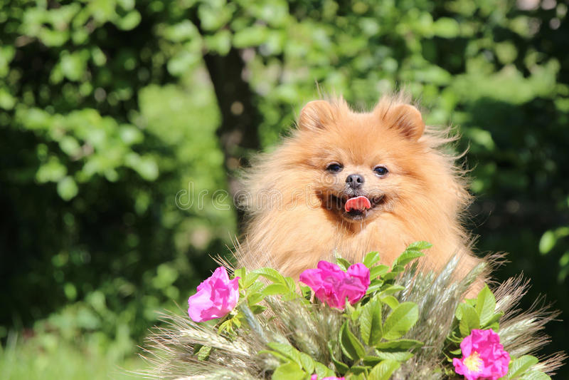 Retrato do cão pomeranian bonito com as flores cor-de-rosa no verão no fundo do verde da natureza imagem de stock