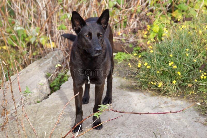 Retrato do cão preto imagem de stock