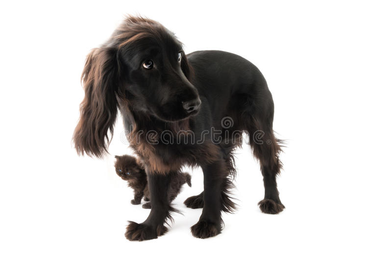 Retrato do cão preto novo de cocker spaniel e de um gato persa do cachorrinho fotografia de stock