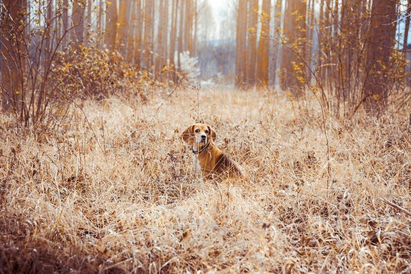 Retrato do cão puro do lebreiro da raça Lebreiro no meio do campo com palhas secas no fundo da mola imagem de stock