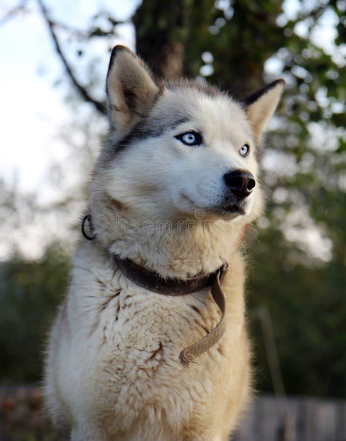 Retrato do cão do puro-sangue com olhos azuis foto de stock royalty free