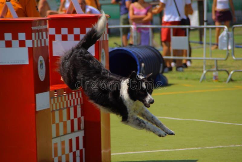 Retrato do cão que salta o obstáculo fotografia de stock royalty free