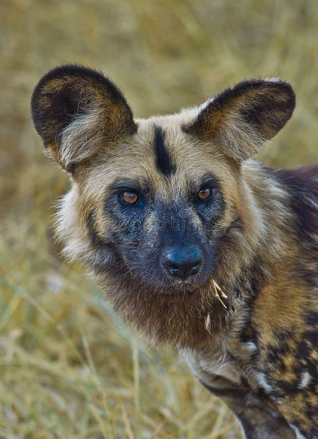 Retrato do cão selvagem em África imagem de stock royalty free