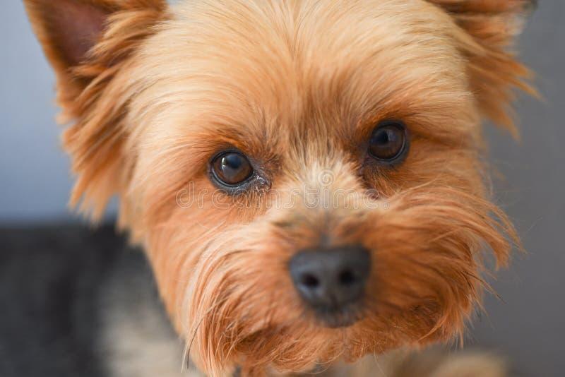 Retrato do cão do yorkshire terrier, close-up foto de stock royalty free