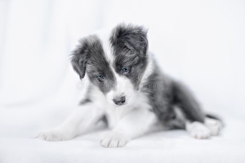 Retrato do cachorrinho border collie foto de stock royalty free