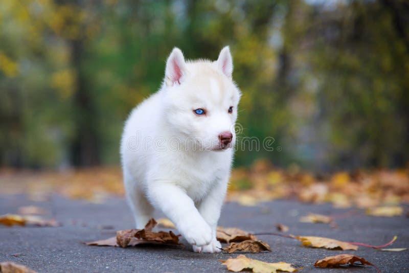 Retrato do cachorrinho do cão de puxar trenós fotografia de stock royalty free