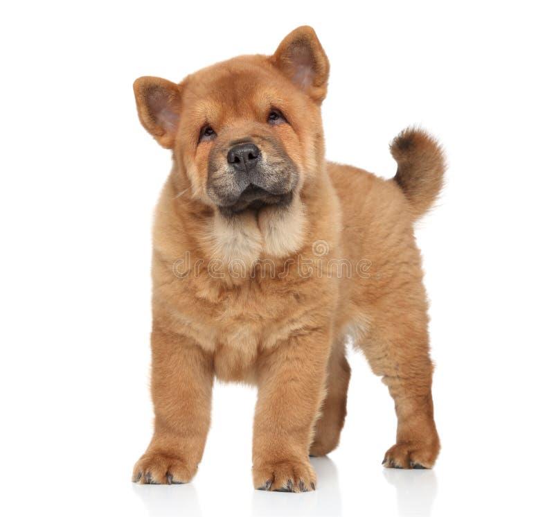 Retrato do cachorrinho da comida de ?how foto de stock royalty free