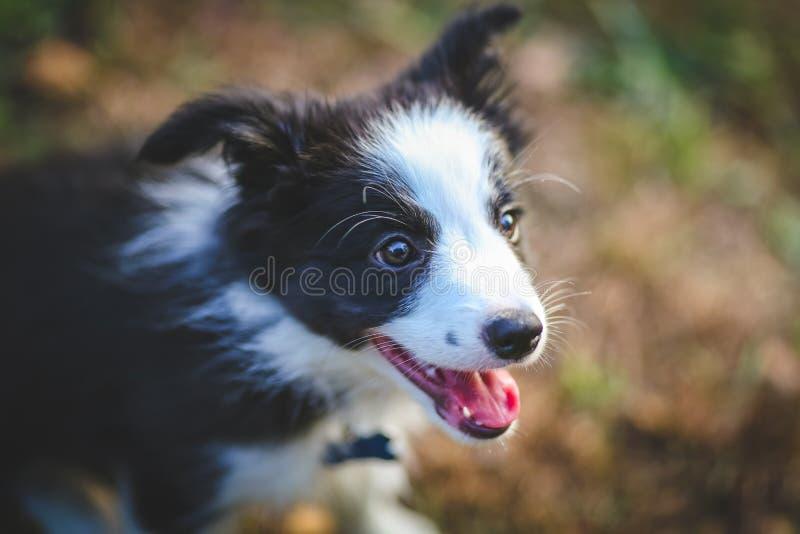 Retrato do cachorrinho de border collie fotos de stock