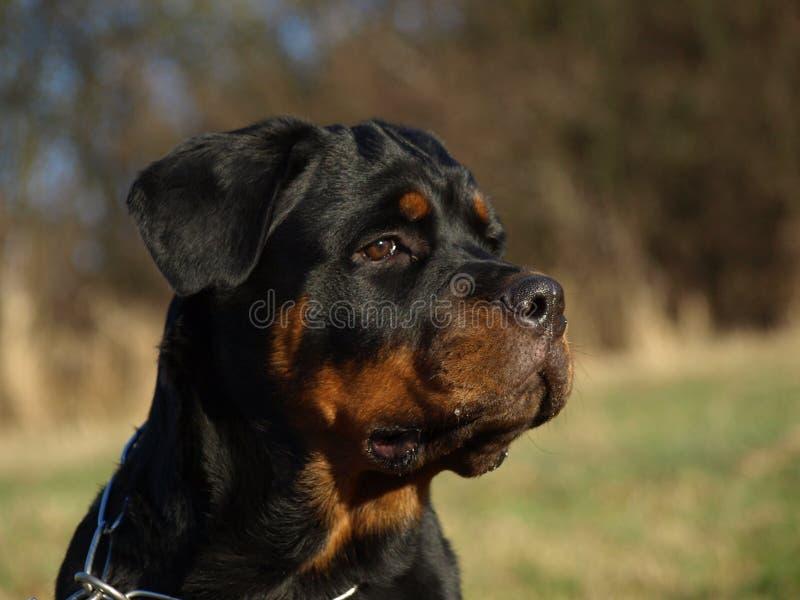 Retrato do cachorrinho de Rottweiler foto de stock